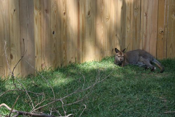 ...a wallaby.